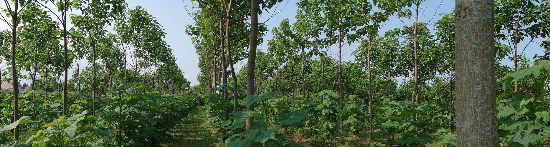 Paulownia Plantage 09.2015